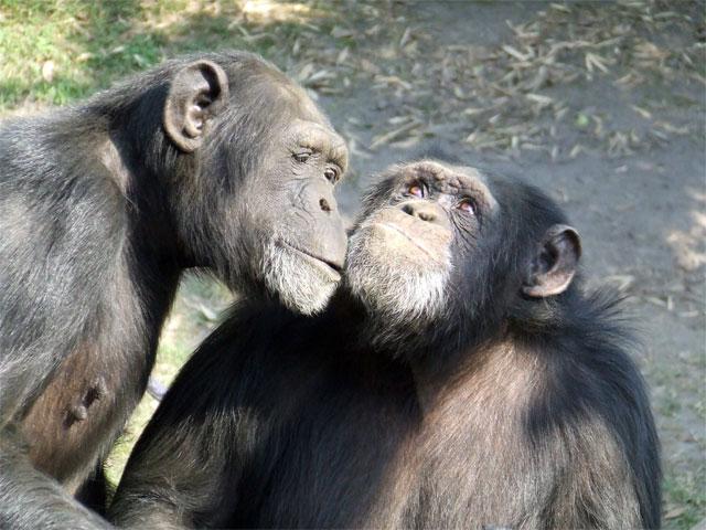 ¿La moral humana proviene de los simios?