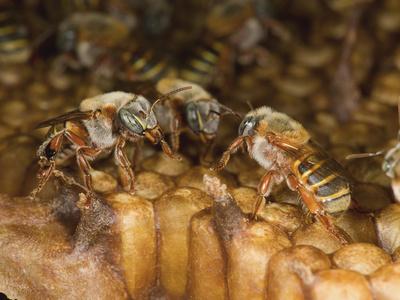"""Meliponicultura en Coatepec y los beneficios de la """"miel virgen"""""""