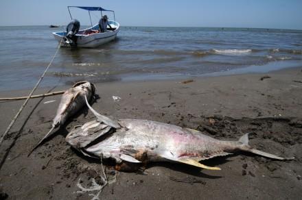 Cientos de peces muertos deja la marea en playas de Coatzacoalcos