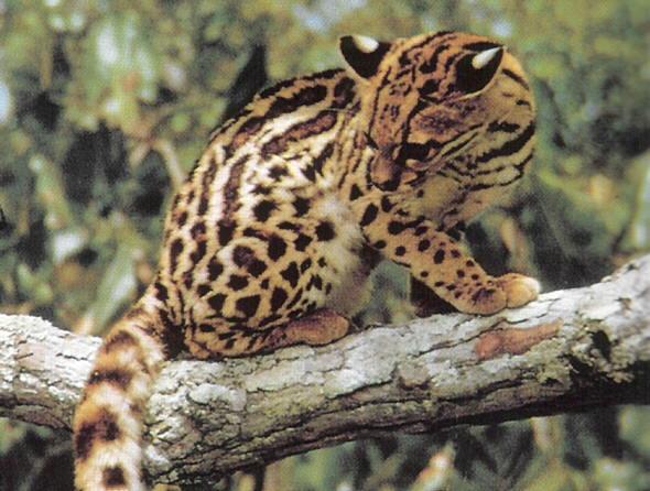 Los tigrillos rescatados en Teocelo pronto serán devueltos a su hábitat natural