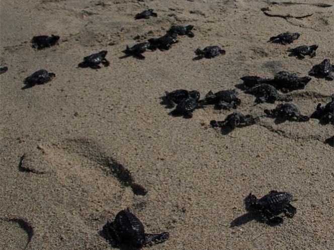 Promueve Sectur presenciar la liberación de tortugas