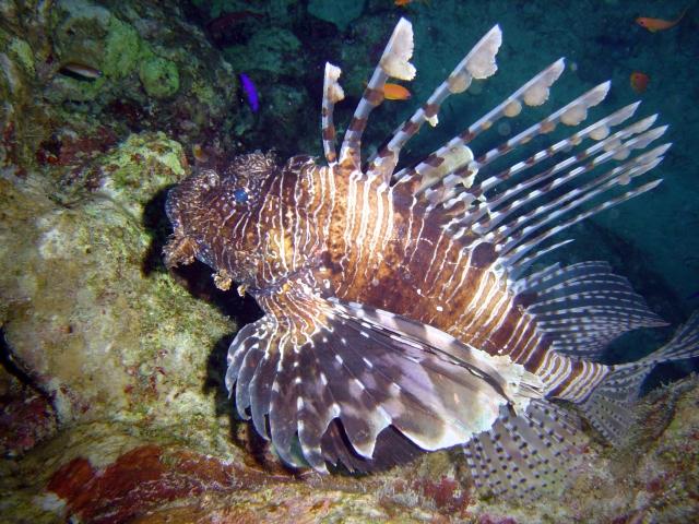 Promueven platillos de pez león para mitigar daños en arrecifes