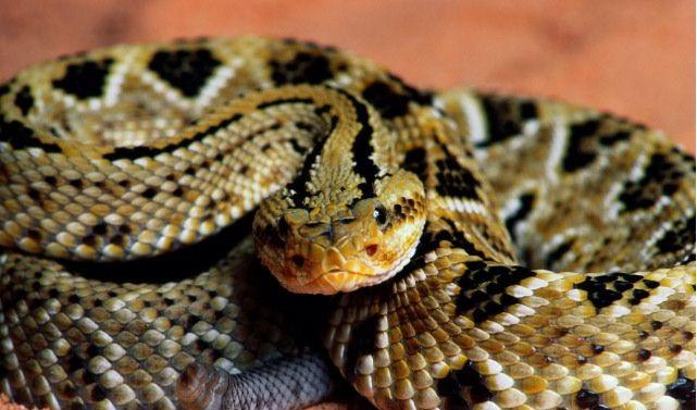 Se registran alrededor de 100 mordeduras de serpientes venenosas al año en Veracruz