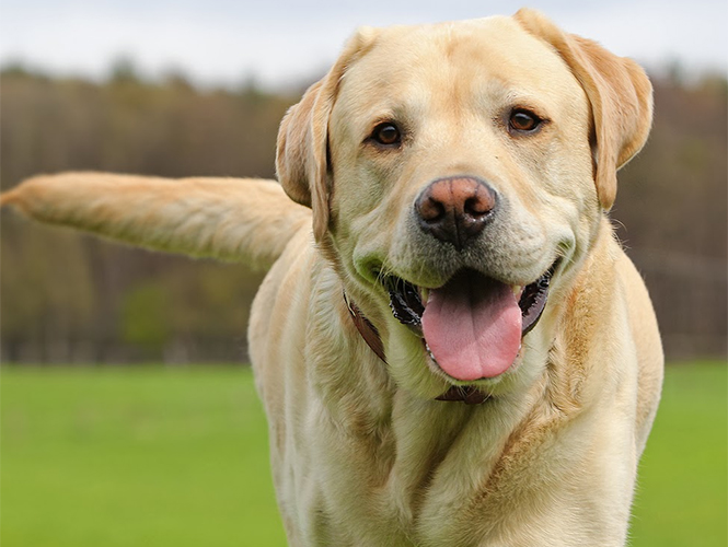 ¿Sabes qué dice tu perro cuando mueve la cola?