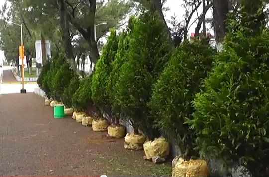 Costo de árbol de Navidad desde 500 pesos en mercado Hidalgo