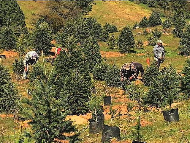 Productores comercializarán más de 100 mil pinos veracruzanos