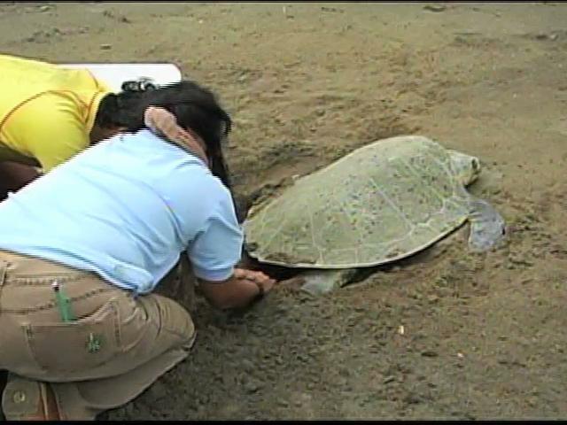 Sin recibir denuncias sobre saqueos de nidos de tortugas: Profepa