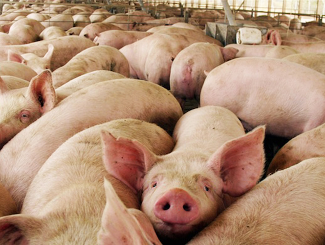 Aranceles sin afectar venta y producción de carne de cerdo en el país