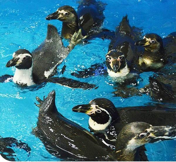 Llegan pingüinos peruanos al Acuario de Veracruz