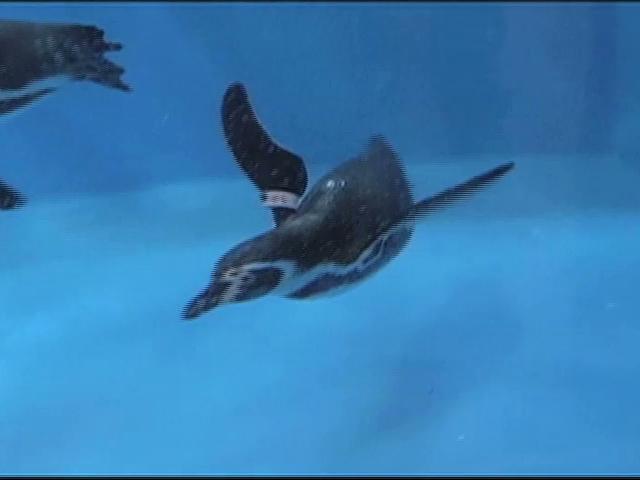 Llegan los nuevos huéspedes al pinguinario en el Acuario de Veracruz
