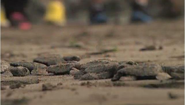 Disminuye saqueo de nidos de tortuga en Veracruz