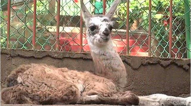Nace una llama en el Parque Viveros de Veracruz