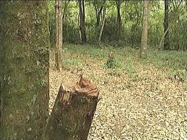 Continúa la tala clandestina en el Cofre de Perote