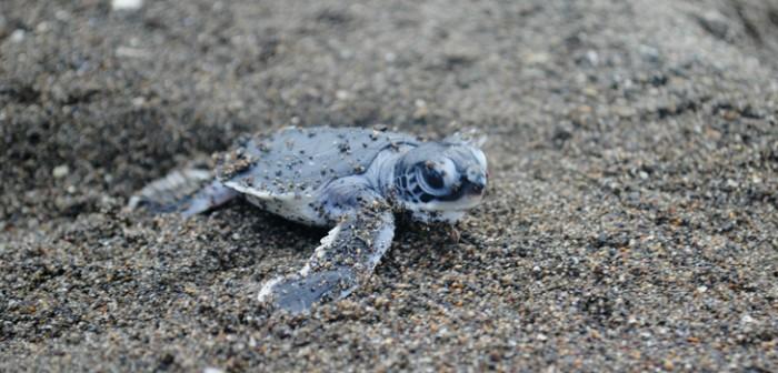 Impulsa Sedema protección de tortuga marina en costas veracruzanas