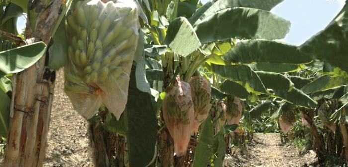 Veracruz se consolida como tercer productor de plátano del país