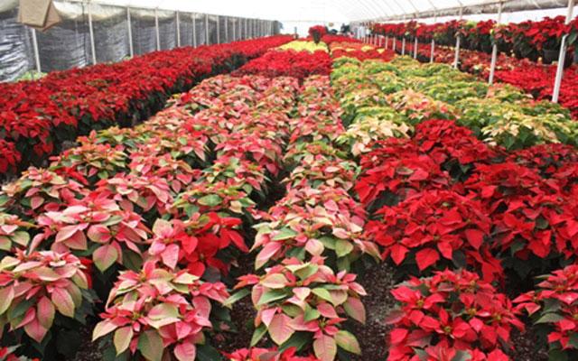 Producción de Nochebuena en México superará 19 millones de plantas