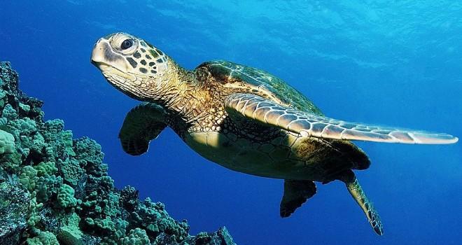 Inicia la temporada de arribo de las tortugas loras a costas veracruzanas