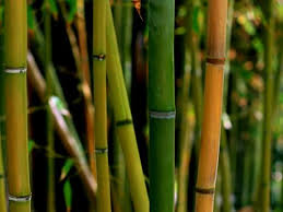Convoca Gobierno de China a productores veracruzanos  a curso para desarrollo agroindustrial del bambú