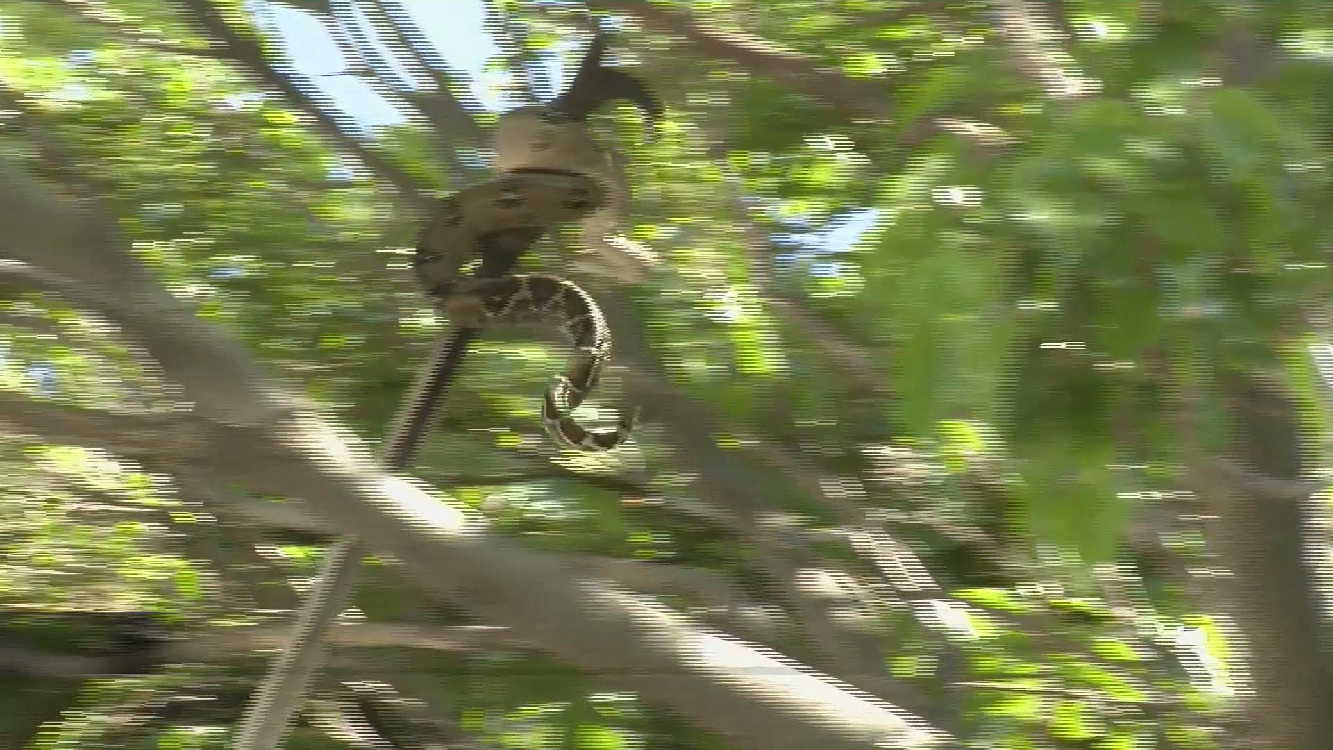Bomberos de Veracruz capturan a serpiente en árbol del centro histórico de Veracruz