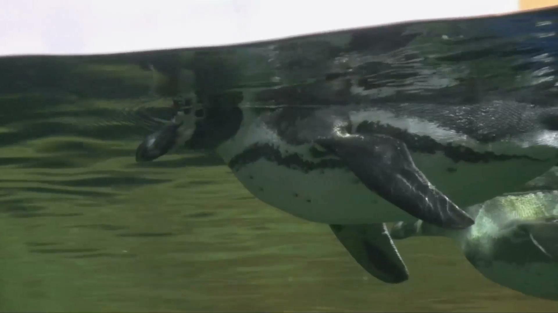 Nace otro pingüino en el Acuario de Veracruz