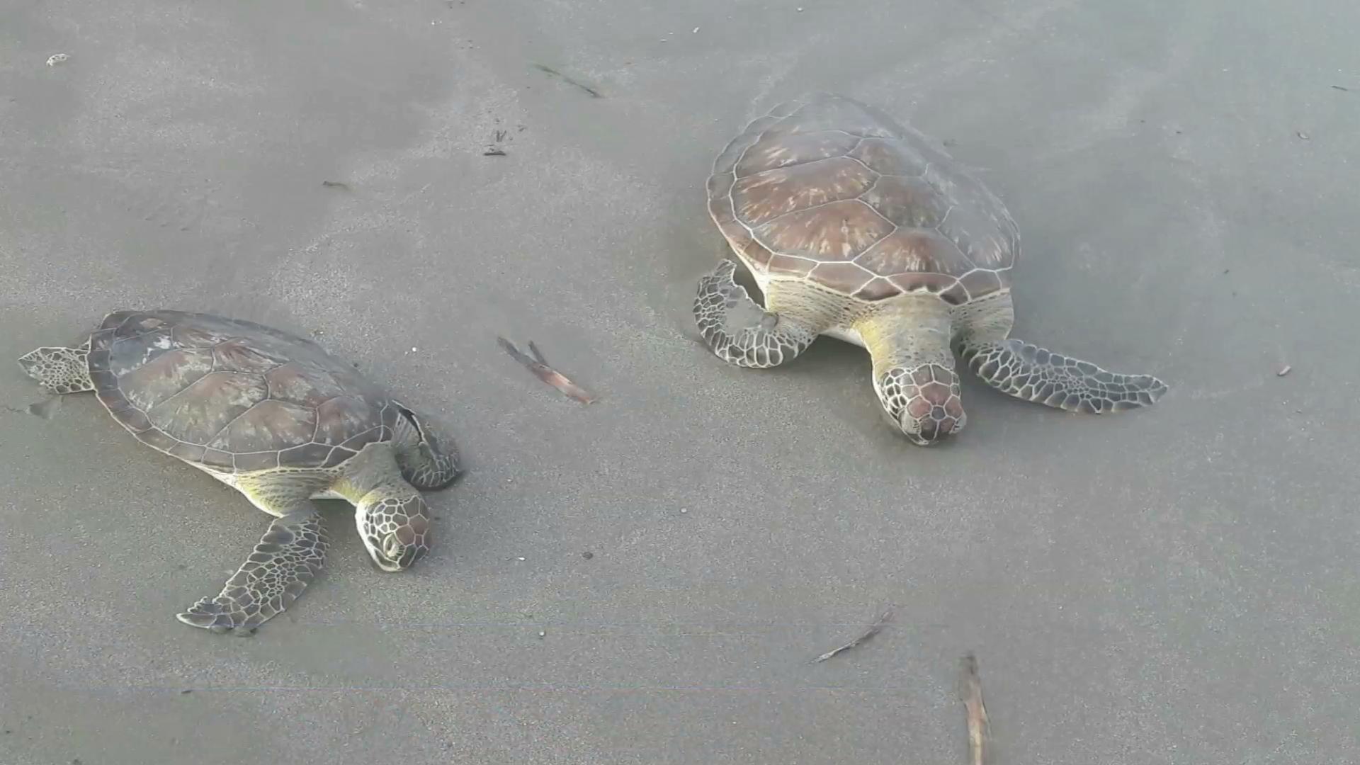 Encuentran muertas a tres tortugas en playas de Veracruz y Boca del Río