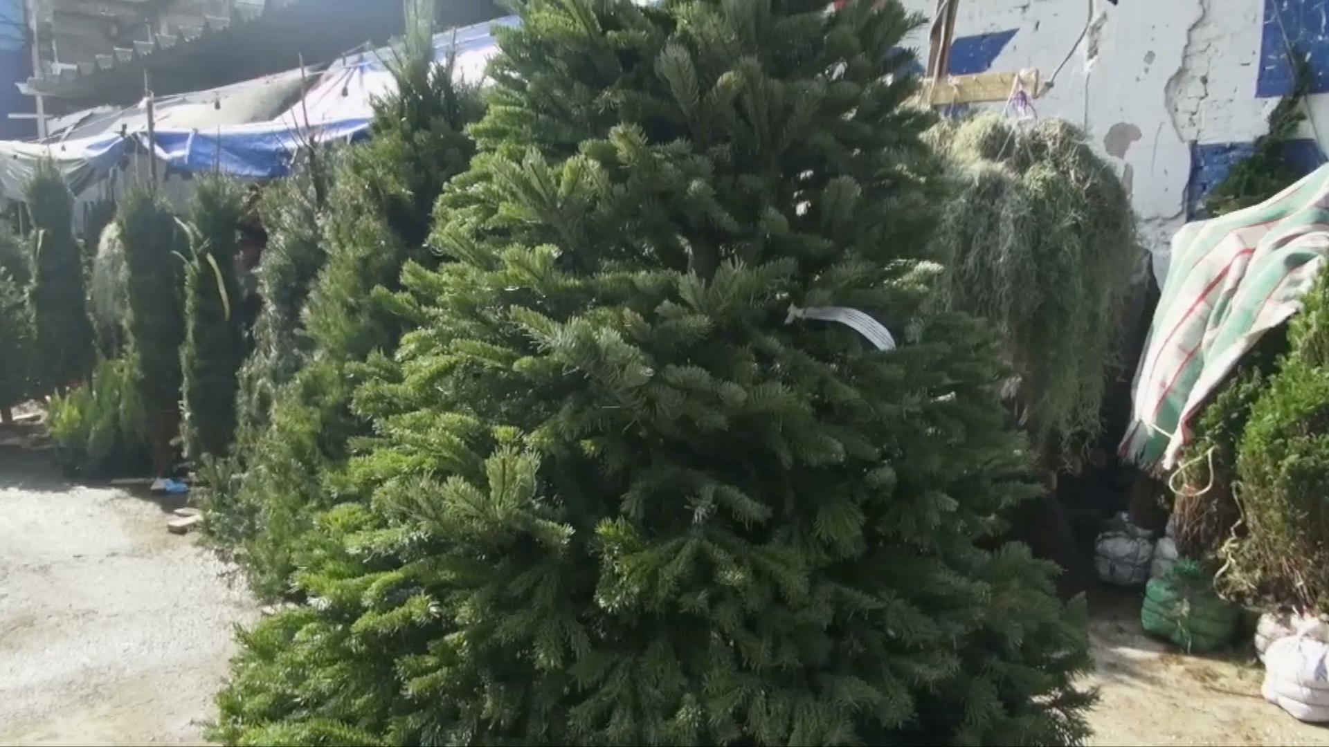 Comenzó la venta de pinos de Navidad, vendedores esperan repunte