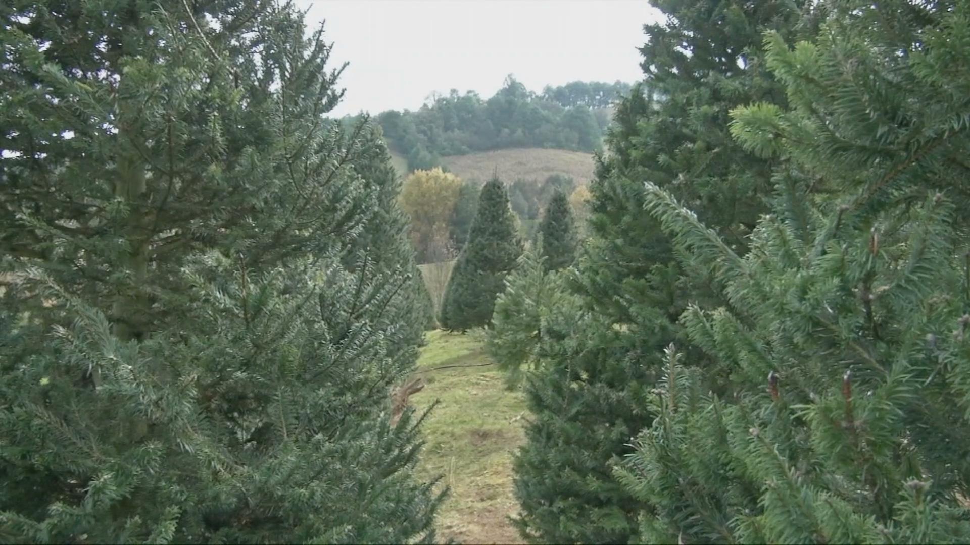 Inicia venta de pinos navideños en Xalapa