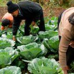 Aumenta producción agrícola 11 por ciento en cuatro años: Sagarpa