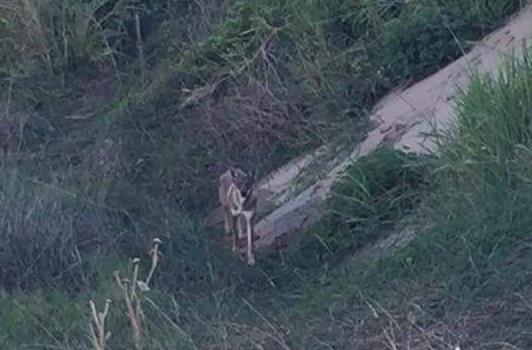 A través de redes sociales buscan apoyo para proteger a coyotes en Coatzacoalcos