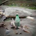 Piden no poner en riesgo el desove de las tortugas marinas
