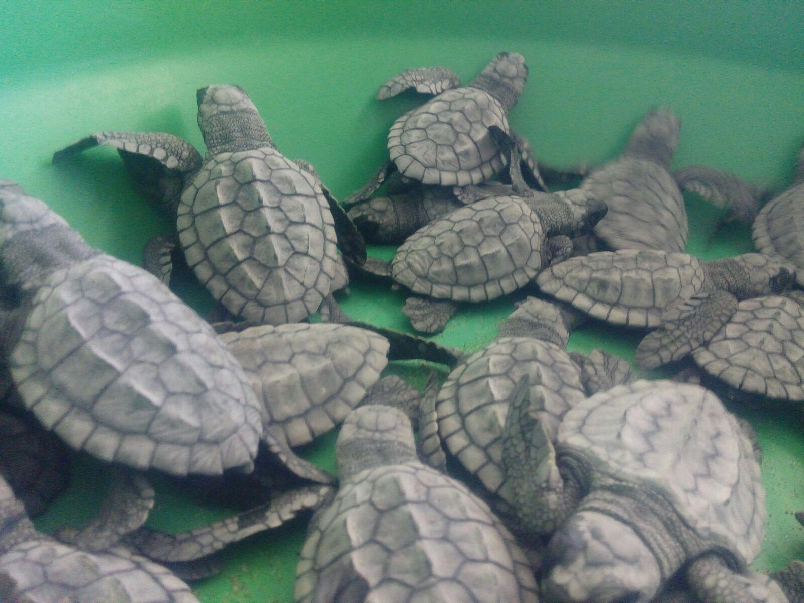 Liberarán 70 tortugas lora en Coatzacoalcos este viernes
