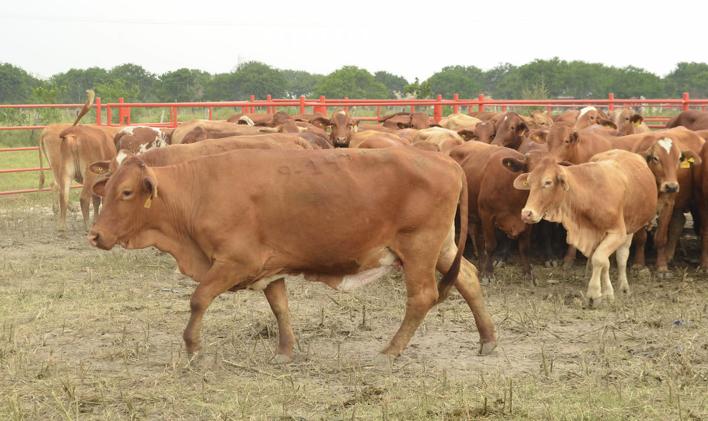 Trasladan ganado a zonas altas de San Rafael para evitar pérdidas por Franklin