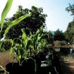 """UNAM crea programa """"La Milpa Sustentable"""", una cruzada contra el hambre"""