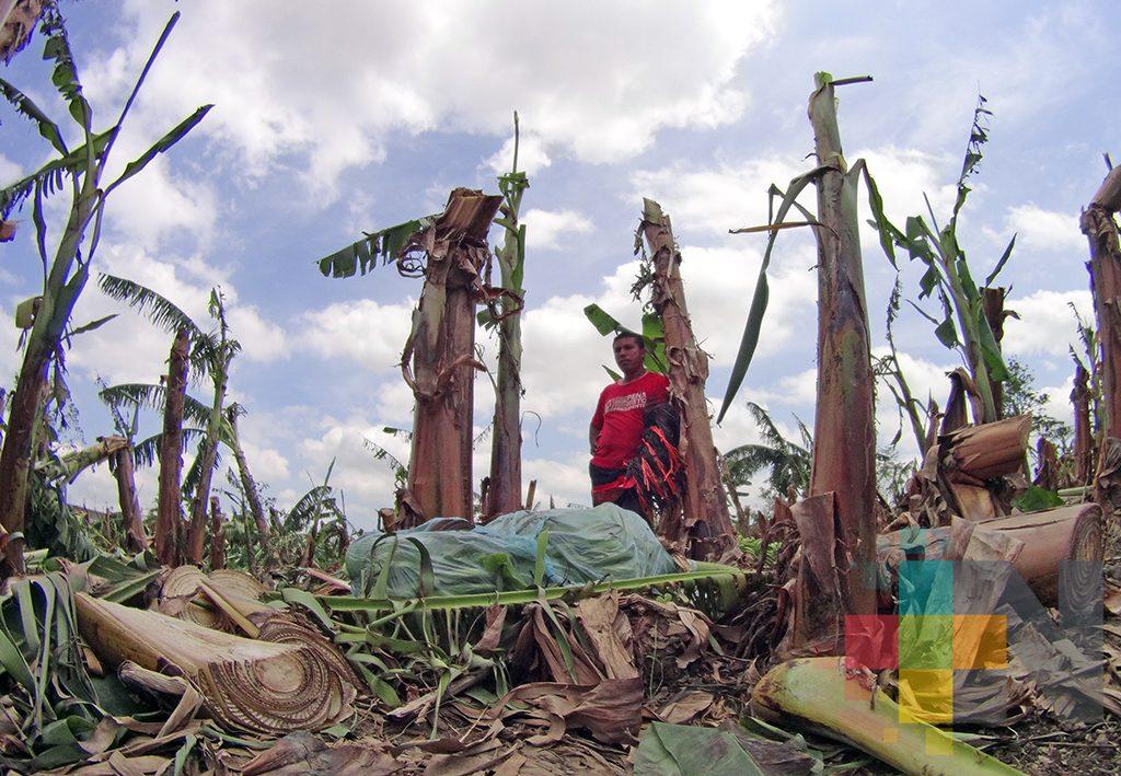 Productores de plátano de San Rafael piden al gobernador que los incluyan en el seguro; perdieron toda su cosecha