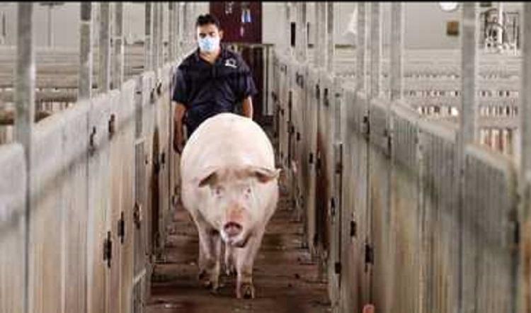 Llega a Veracruz primer cargamento de carne de cerdo procedente de Alemania