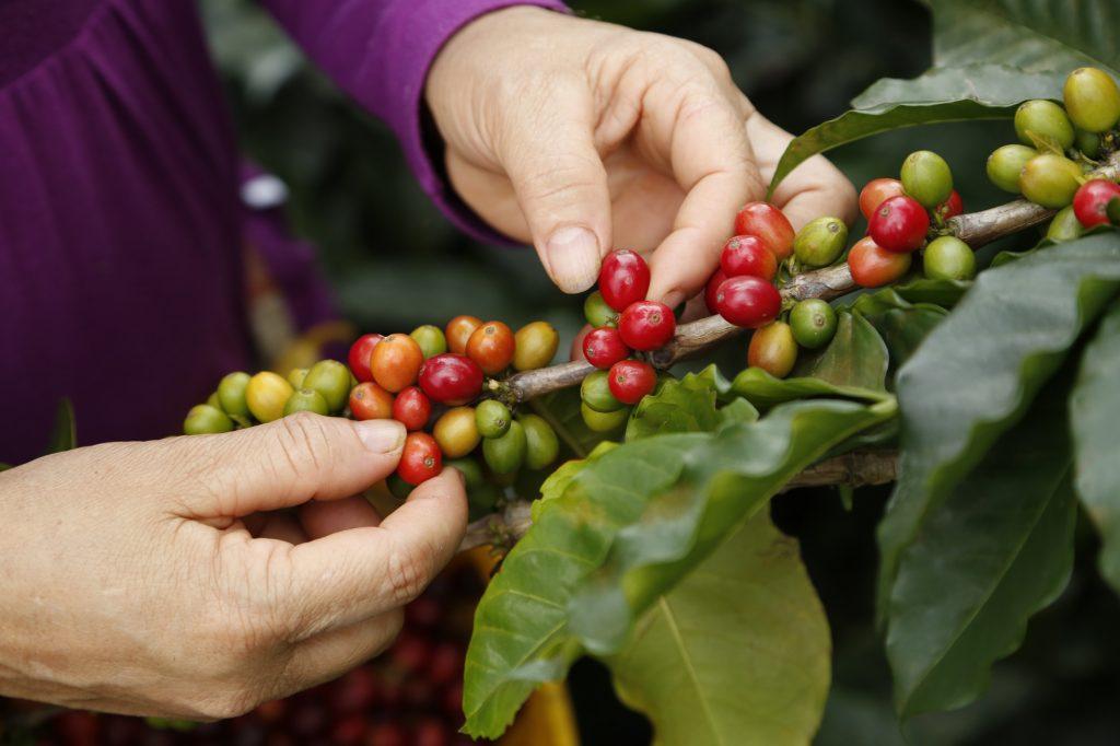 En Veracruz se podrían cosechar más de 900 mil quintales de café en el 2017