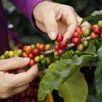 Destaca Veracruz en incremento de producción de café a nivel nacional