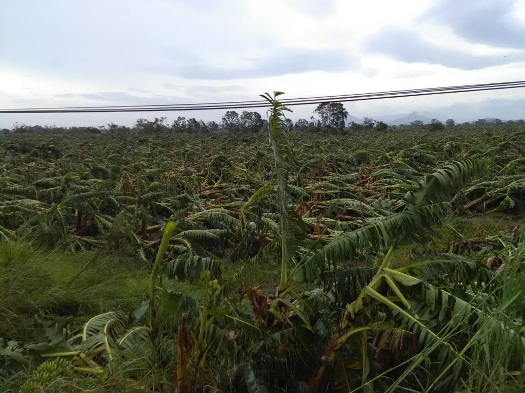 Pérdida total en más de mil hectáreas de plátano, en San Rafael