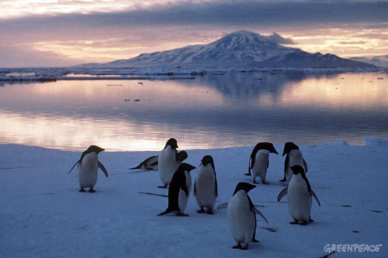 Pingüinos deben tener área protegida tras catastrófica muerte de crías
