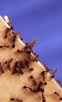 """Hongo """"parásito"""" convierte a hormigas en zombis hambrientos"""