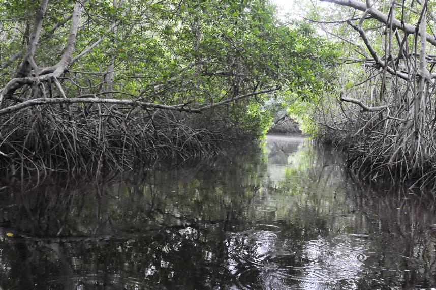 Manglares aportan enormes beneficios al medio ambiente