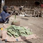 El nopal, cultivo del futuro: FAO