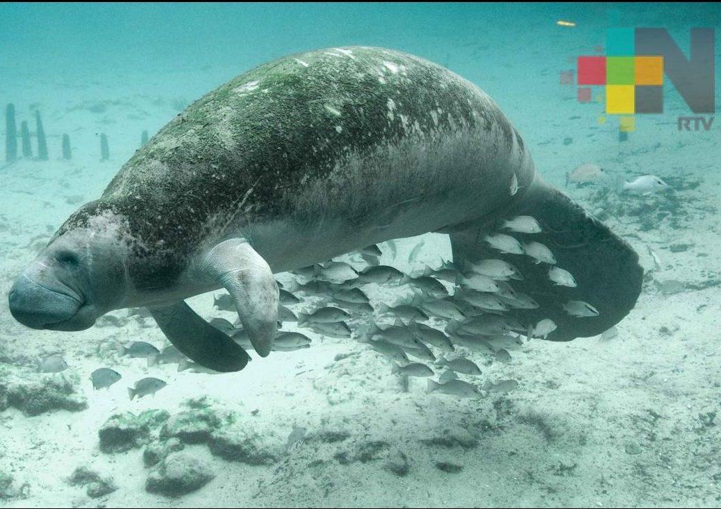 Buscan proteger al manatí y su hábitat en la laguna del Tepache en el sur de Veracruz