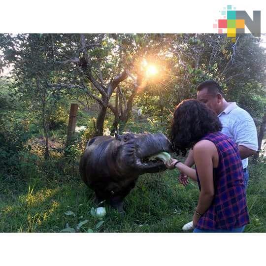 Lugareños no quieren que se vaya Tyson, el hipopótamo de Las Choapas