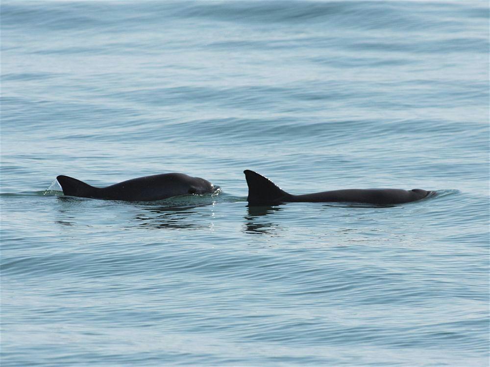Se amplía área de refugio de la vaquita marina en el alto Golfo de California