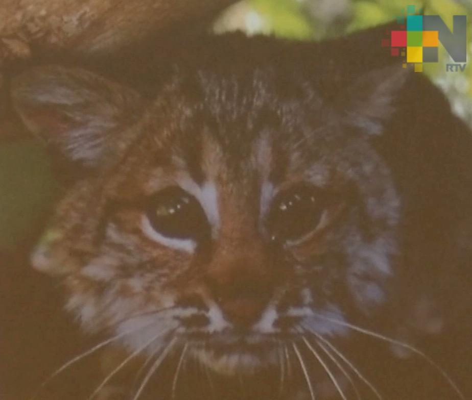 Amenazadas, más de 60 especies de mamíferos en Veracruz