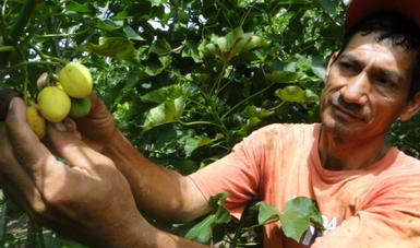 Se genera biodiesel a partir del cultivo de piñón en México