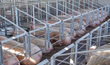 Veracruz quinto estado productor de carne de cerdo en el país