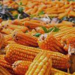 Fortalece Sagarpa producción de maíz amarillo y oleaginosas para disminuir importaciones