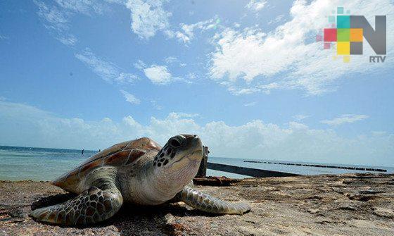Regresa la tortuga laud a playas de El Raudal